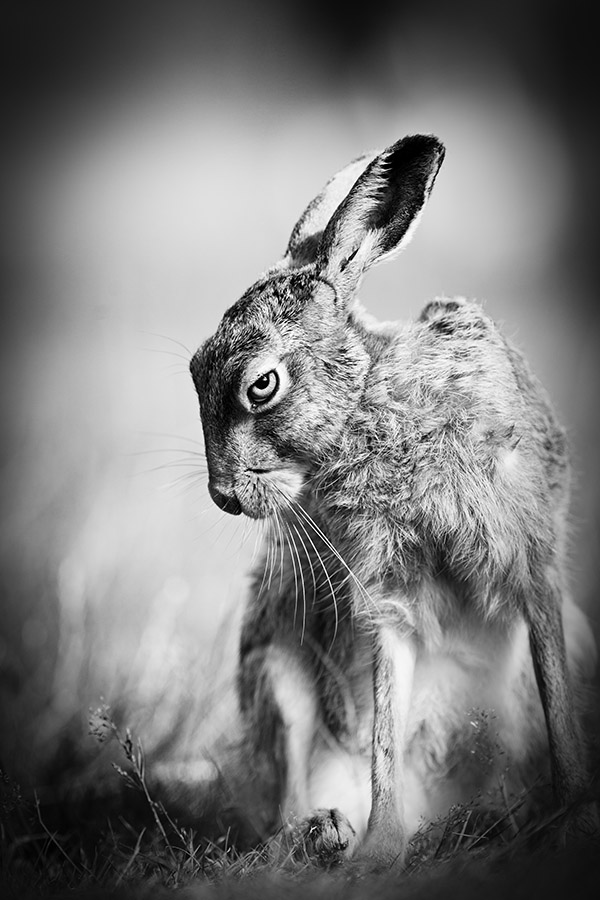 Award winning black and white portrait of a hare by peter denness
