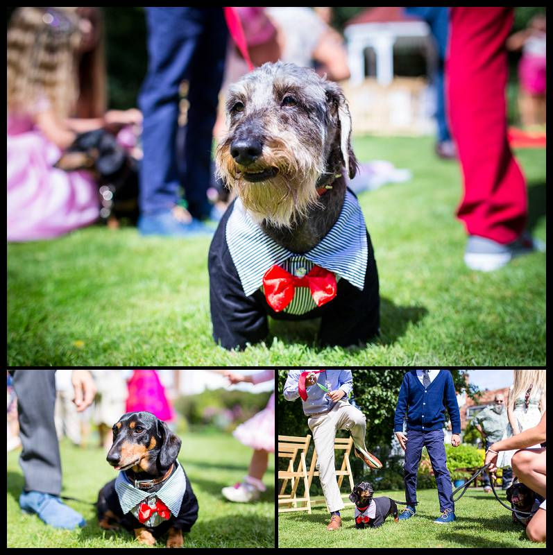 Dogs in suits at a wedding